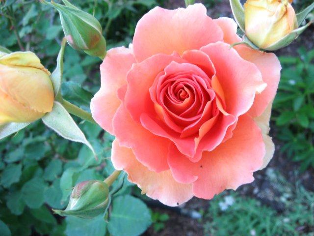 roses 4-27 006
