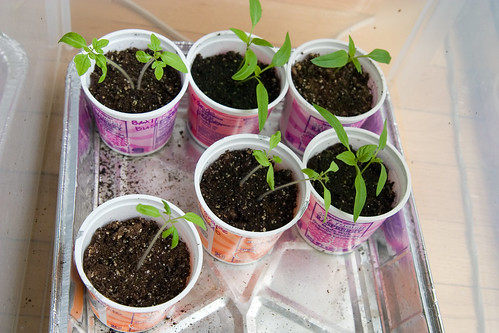 tomato and pepper seedlings