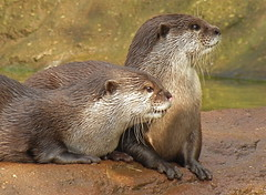 (judepics) Tags: two animals pair otters londonzoo bigmomma babymomma pfogold thechallengefactory