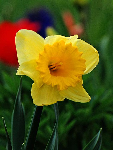 Daffodil in front of tulips and hyacinth