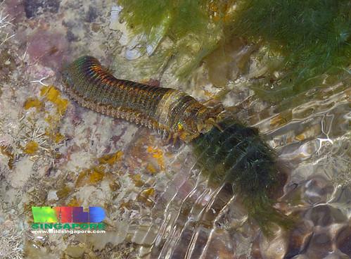 Giant reef worm (Eunice aphroditois)