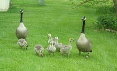 This year's Goose family
