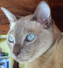 ... curious boy... (bludainumeri) Tags: pet cats cat feline tonkinese shiva gatto beautifulcat bestofcat lilacmink