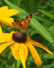 Pearl Crescent butterfly on Black-Eyed Susan (patmbrown1) Tags: nature blackeyedsusan pearlcrescentbutterfly