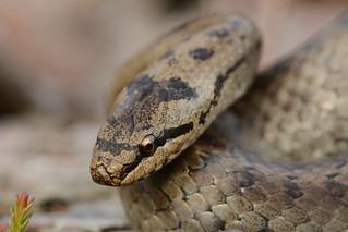 female smooth snake, Coronella austriaca