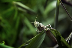 [フリー画像] [節足動物] [昆虫] [バッタ] [トノサマバッタ] [緑色/グリーン]      [フリー素材]