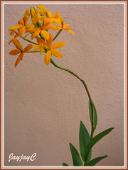 An orange Epidendrum x obrienianum, a hybrid of E. ibaguense and E. evectum (Crucifix Orchid, Reedstem Epi) in our tropical garden, April 13 2009