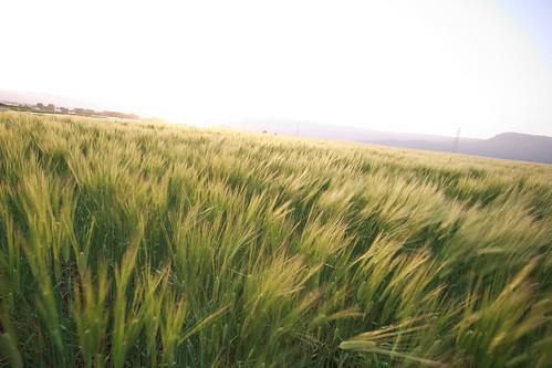 Wheat pad