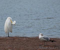 siesta (Wils 888) Tags: wild white bird heron lens newjersey nap zoom snowy ngc great nj siesta nikkor eastern egret edison 18200mm ardeamodesta easterngreategret nikond300s