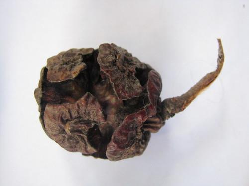 Macrocarpa cone