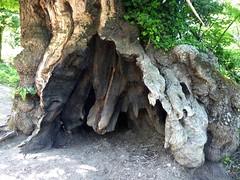 Dans la traversée Cristinacce-Marignana : tronc remarquable