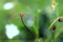 Dragonfly (Shahriar Xplores...) Tags: red macro green field closeup canon eos rebel 50mm kiss image dragonfly head dhaka sell bangladesh f25 x4 gettyimages gettyimage aisa 550d t2i requesttolicense shahriarphotography