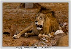 Male Asiatic Lion at Mysore  Zoo (drkrishi) Tags: india zoo asia lion karnataka mysore mammalia panthera carnivora pantheraleo asiaticlion felidae chordata pantheraleopersica mysorezoo srichamarajendrazoologicalgardens drkrishi drkrishicom leoleogoojratensis leoleopersicus