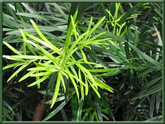 Beautiful foliage of Podocarpus macrophyllus var. Maki, shot November 14, 2006