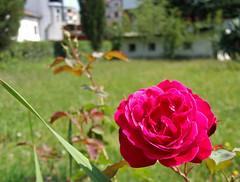 Shkodr, Albania (Uncle Buddha) Tags: trip travel vacation holiday flower tourism rose europe balkans albania republika shqipris shqipria shkodr republikaeshqipris
