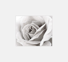 Delicate (_Zahira_) Tags: bw white flower macro blanco rose lafotodelasemana flor rosa olympus 100v10f bn nd nr ngr e500 uro 35mmmacro p1f1 top20white top30bw