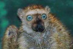Blue eyed lemur (ucumari photography) Tags: philadelphia animal mammal zoo nikon december pennsylvania d70s lemur 2007 philadelphiazoo blueeyedlemur ucumari abigfave ucumariphotography impressedbeauty