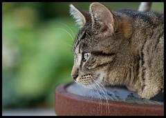 Watching (Yannig Van de Wouwer) Tags: cats green cat garden katten kat bokeh ef100mm