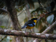 Blue-winged Mountain-Tanager 2 (mlretter) Tags: nwecuador wvenezuela
