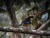 Blue-winged Mountain-Tanager 2 (mlretter) Tags: nwecuador wvenezuela