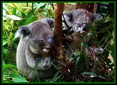 Can hardly keep those eyes open to eat (Lady Jayne ~) Tags: 2 eating australia koala nsw blackbutt photofaceoffwinner pfogold