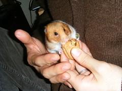 20071229 - 20 (kayako_) Tags: hamster pon