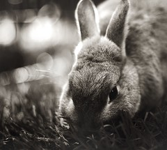 (parade in the sky) Tags: light bw bunny cindy grass sepia vintage outdoors soft afternoon bokeh eating