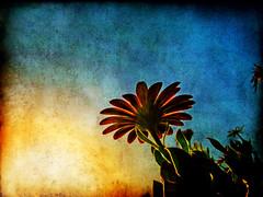Goodbye Sun (ToniVC) Tags: sunset summer sun flower canon bravo powershot textured magicdonkey artlibre a640 infinestyle superlativas tonivc