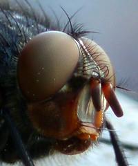 Macro-Mosca (MantisXxl) Tags: naturaleza macro insect spider fly wasp bee beatle anthony carterpillar araa escarabajo bicho mosca insecto thebigone awardwinner supermacros digitalcameraclub supershot letmeentertainyou macroenespaol ithinkthisisart citritgroup ilovemypic freenature defendersmacroandcloseup ~~~flickrized~~~ platinumheartaward wonderfulworldmix betterthangood natureislovely shiningstar naturelimited planetaterraeseusanimaisincrveis opequenogigante macro~natureonly