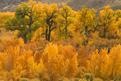 The cottonwood grove at Fish Ford, Utah (Outrageous Images) Tags: trees geotagged utah cisco cottonwood cottonwoodtree fallscolors outrageousimages fishford davewadsworth ciscolanding primitivecampsites riverlandingaccess