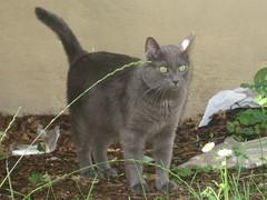 Nietzsche (Leya :P) Tags: portrait cats green cat grey lawn greeneyes russianblue