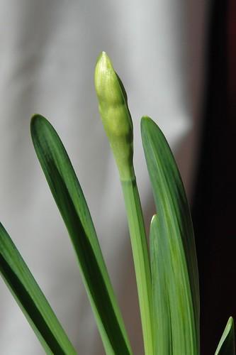 daffodil in bud