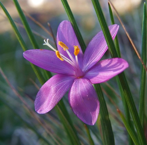 Sisyrinchium douglasii (Satin flower) | Flickr - Photo Sharing!
