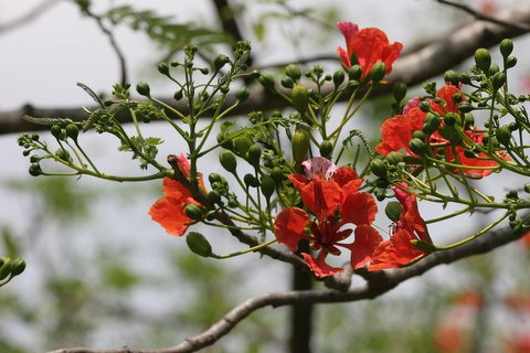 gulmohar (mayflower) blossoms in april