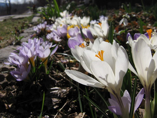 My Favorite crocus photo!