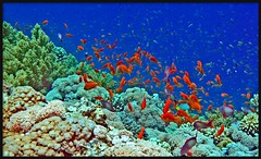 in Red Sea (Z Eduardo...) Tags: africa red fish nature colors underwater redsea egypt sinai sharmelsheik coralreef basslet abigfave anawesomeshot colorphotoaward aplusphoto anthiassquamipinnis platinumheartaward artlegacy