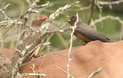 IMG_1718_1 (Peet van Schalkwyk) Tags: africa nature birds southafrica photo image photos wildlife images impala knp rooibok aepycerosmelampus redbilledoxpecker buphaguserythrorhynchus rooibekrenostervoël