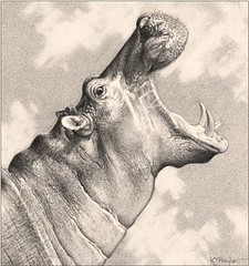 'Hippo Calling' - Hippopotamus - Fine Art Pencil Drawing www.drawntonature.co.uk (kjhayler) Tags: pictures africa wild portrait art animal animals pencil portraits river painting sketch photo artwork photos head drawing african contemporary wildlife fineart paintings picture drawings safari rivers prints hippo hippopotamus sketches hippos riverhorse okavango zambezi animalart masaimara wildanimals riverlife animalprints pencilwork riveranimals wildlifeimages animalpictures wildlifeart africanwildlife africananimals wildlifephotography wildlifephotos animalphotos animaldrawings hippopotomi wildlifeartists naturepictures wildlifeportraits wildpictures animalspictures openedition hippoportrait wildlifeartist wildlifedrawings kevinhayler pictureshippo hippospictures hippospicture imagehippo picturehippo hippopictures hippopicture wildlifehippos hippophoto africanwildlifeart hipposhead imageshippos hippophotos hippopotomuses