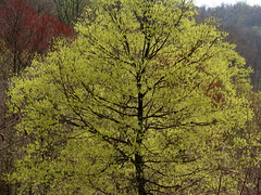 spring maples