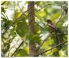 Oalanjaali..... (Naseer Ommer) Tags: india birds canon kerala aves dendrocittavagabunda rufoustreepie canon400mm naseerommer canoneos40d souuthindia oalanjaali