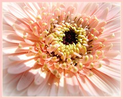 Gerbera Daisy (lorainedicerbo) Tags: pink flower floral spring michigan foliage gerbera daisy loraine eastpointe dicerbo wonderfulworldofflowers lorainedicerbo