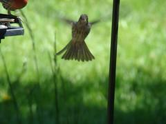 HOF fledgling