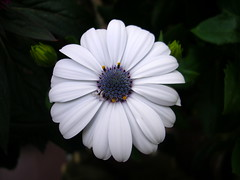 daisy (GreenPixie) Tags: white black flower macro closeup digital digitale violet daisy fiore viola bianco nero margherita primopiano nikoncoolpix3200