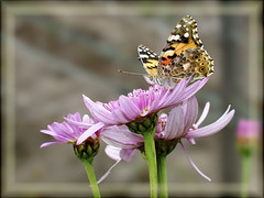 Butterfly (Angelo Losanno) Tags: flower colour closeup butterfly insect photo perfect photographer eating angelo favourite fiore soe farfalla the naturesfinest colorata blueribbonwinner top20flowersandbugs golddragon mywinners abigfave anawesomeshot theunforgettablepictures goldstaraward rubyphotographer damniwishidtakenthat beautifulmonsters angelolosanno losanno