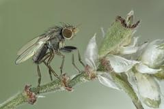 Mosca,fly. 2mm body length (dorolpi) Tags: