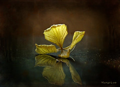 Reflection ... (MargoLuc) Tags: hortensia little flower dry reflection green natural light dark tones macro stilllife texture joessistah bokeh hydrangea
