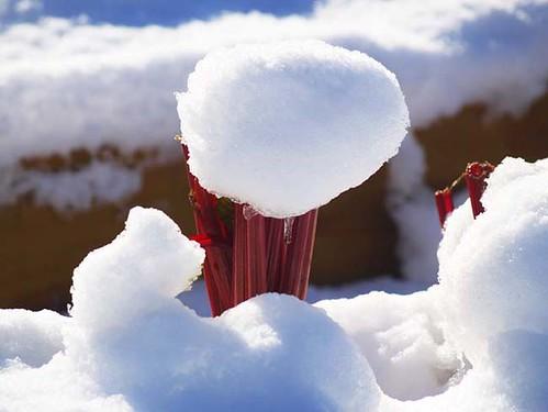 Snow On Swiss Chard
