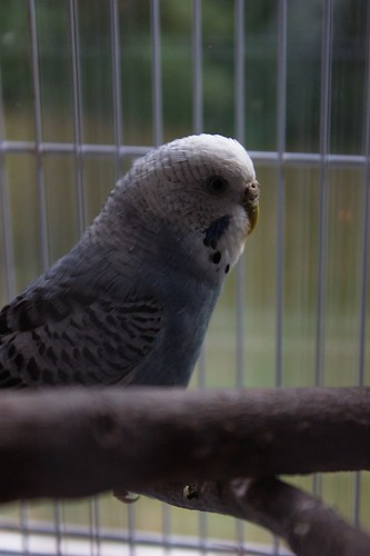 budgie Maggie