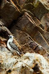 Aves de Paracas, Piquero peruano (redux) (Martintoy) Tags: birds nikon d2x aves nikkor pisco peruano paracas 80200 piquero peruvianbooby nikonnikkorlimaperumartintoy