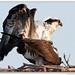 Giggity - MD Osprey